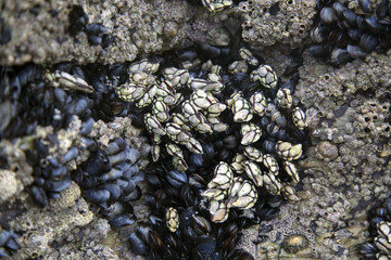 Barnacles and Mussels, Cathedral Beach; Galicia