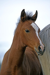 Bay Arabian Foal