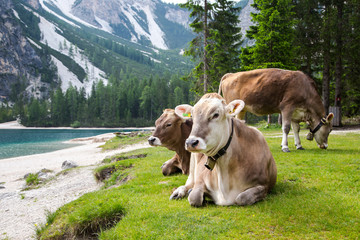 Happy and beautiful cows resting and admiring of Lago di Braies, known as Lake Braies or Pragser Wildsee. The lake is located in the heart of Dolomite Mountains, South Tyrol, Alps, Italy.