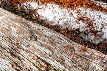 Bois mort, brindilles de pin et neiges éternelles dans le Rocky Mountain National Park