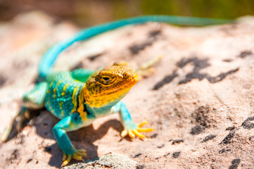 Un lézard multicolore se chauffe sur une pierre rouge du Colorado National Monument