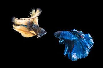 Siamese yellow and blue color fighting fish are fighting isolated over black background