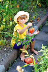 A small, cute little girl in a hat harvests a ripe harvest of ripe red tomatoes.