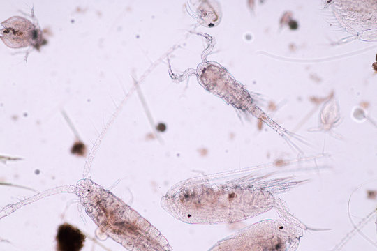 Copepods are a group of small crustaceans found in the sea and nearly every freshwater habitat.
