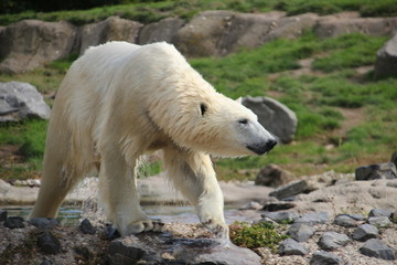 Polar Bear in the Rotterdam Zoo