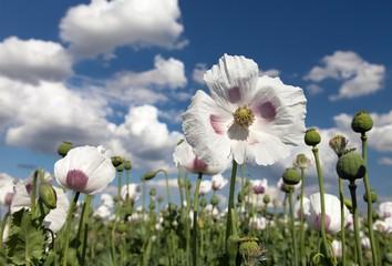 Detail of flowering opium poppy, poppy field