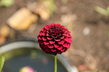 Dahlia La recolate in dutch garden