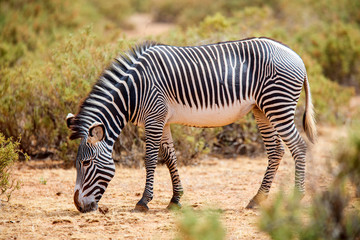 Canvas Prints Zebra Grevy's zebra in Samburu Kenya