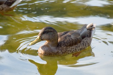 duck on a lake in the nature