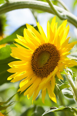 Summer day scene with sunflower plant. Yellow petal garden flower sunny soft green background photo
