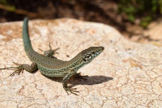 Formentera wall lizard