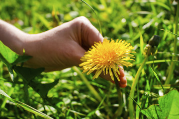 The hand is tearing away the dandelion