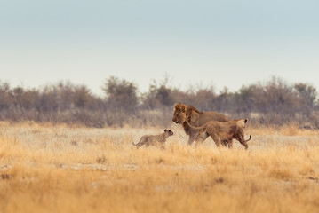 Lions Playing in the Morning