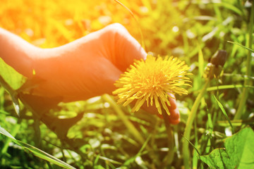 The hand is tearing away the dandelion, toned