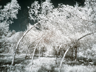 Twisted trunks of birches. Infrared photography