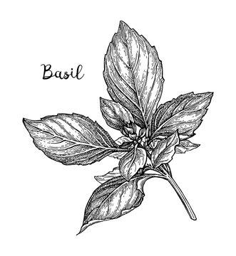 Basil ink sketch