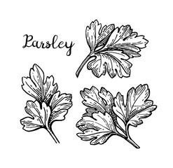 Parsley ink sketch