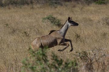 Course de l'impala