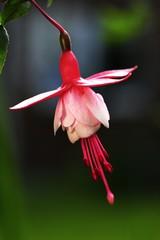 Perfect Fuschia flower