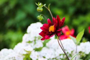 red bright and deep colored flowers in a beautiful garden