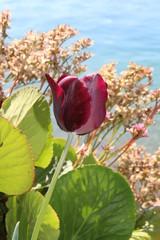 tulipe bordeaux
