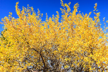 Bright yellow autumn tree leaves on sunny blue sky background