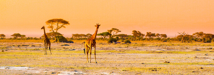 Fond de hotte en verre imprimé Afrique Evening panorama of savanna with giraffes, Amboseli National Park, Kenya, Africa.