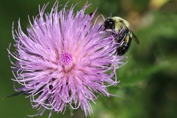 Fotoväggar - Bee on a purple flower