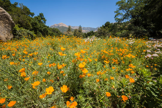California Poppies, Santa Barbara Botanic Garden