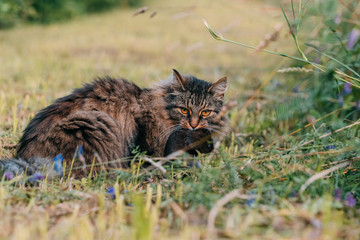 Gray cat caught a rat in a meadow.