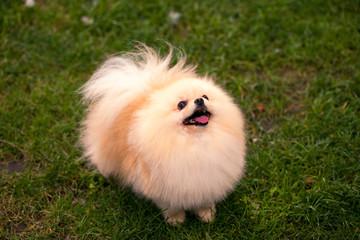 Beautiful smiling dog, pomeranian