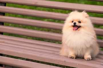 Beautiful dog walks in nature, pomeranian