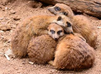 A bunch of cuddling cute meerkats