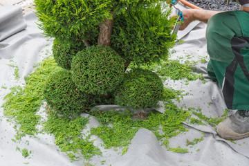 A gardener cuts a thuja or beech tree in shape.