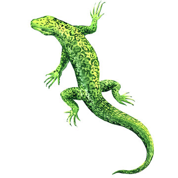 Green lizard, top view, isolated, watercolor illustration on white