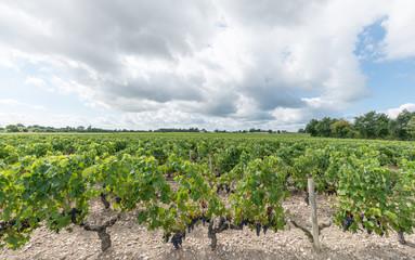 Vignes et raisin du Médoc, près de Bordeaux (France) Fototapete