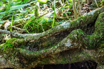 苔の生えた倒木
