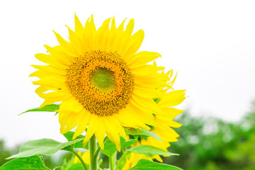 Sunflowers  blooming  in the garden at sunny summer or spring day on white background