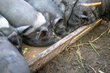 Small black pigs eat from a wooden trough