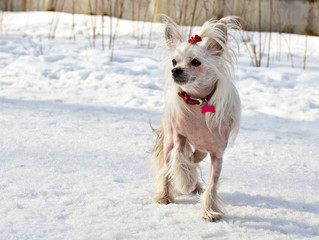 Chinese Crested Hairless dog is standing in the winter on the frozen lake