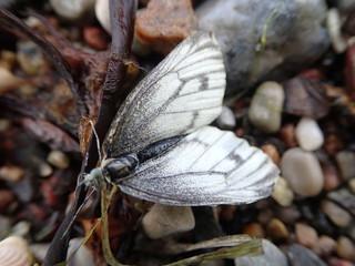 Fotoväggar - weißer Schmetterling