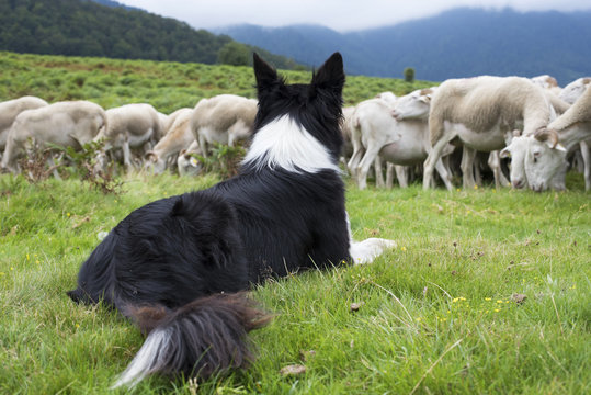 border collie surveillant un troupeau de moutons