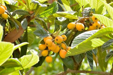 Loquat fruit on a sapling medlar tree