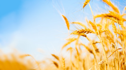 Picture of wheat crop on defocused background