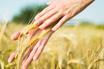 Photo of man's hands with rye spikelets