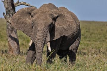 Close Up Elephant Matriarch