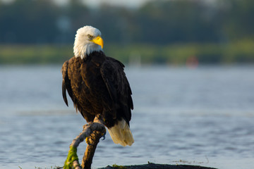 Poster Eagle Eagle Perched on branch in water