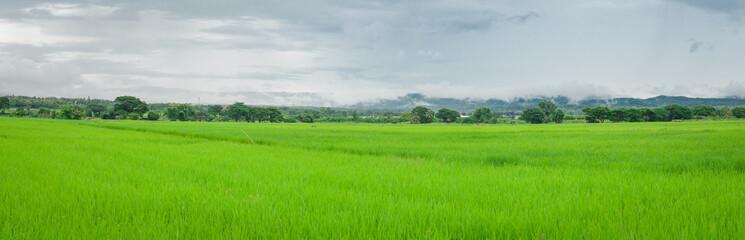 Green rice field in rainy season.