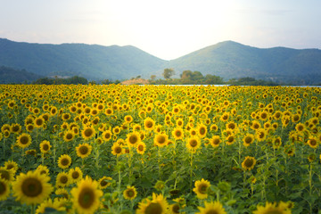 Sunflower field, landscape, view beautiful background.