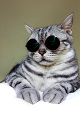 Portrait of American Shorthair gray cat wearing circle sunglasses, cool cat.